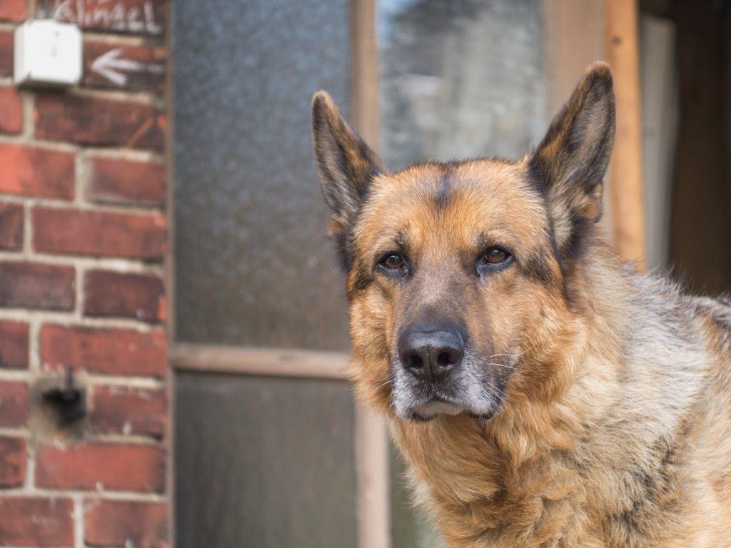 Senioren haben es als Hund sowie als Katze schwer - allerdings haben große, alte Hunde fast gar keine Aussicht mehr, einen neuen Lebensplatz zu finden. (#08)
