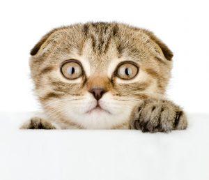 Eine Katze kann auch mit dem Schnurren anfangen, wenn sie sich fürchtet. (#03)