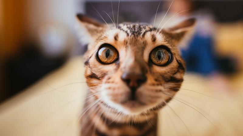 Ein Blick auf die genaue Stellung der Ohren, auf den entspannten oder hochgestellten Schwanz und auf die Gangart zeigt, wie die Katze drauf ist. (#02)